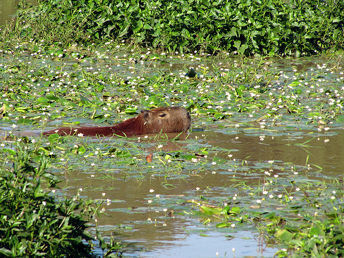 Image details for AR0411OF250_ibera-swimming-capybara.jpg ...
