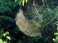 AR0411OF022_iguassu-golden-thread-spider.jpg
