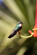 Image: White-throated hummingbird - The Tigre Delta