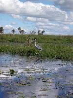 Image: White-necked heron - The Iberá Marshlands, Argentina