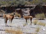 Image: Guanacos - South of Salta: Cachi and Cafayate