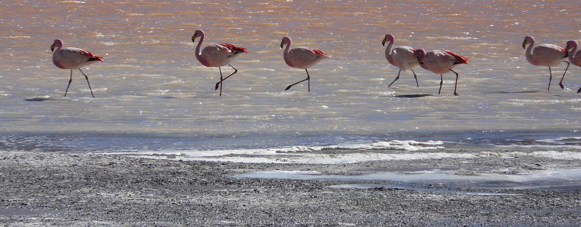 Flamingos in Uyuni