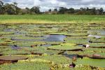 Image: Lilies - Amazon lodges and cruises