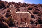 Llama - Arica and Lauca, Chile