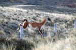 A leaping guanaco