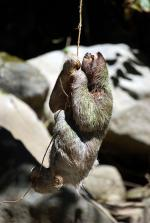 Image: Sloth - The Central highlands, Costa Rica