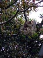 Image: Two-toed sloth - Monteverde