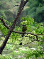 Image: Motmot - The Nicoya Peninsula