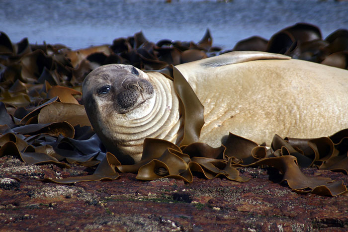 FK0310LD0441_carcass-southern-elephant-seal.jpg [© Last Frontiers Ltd]