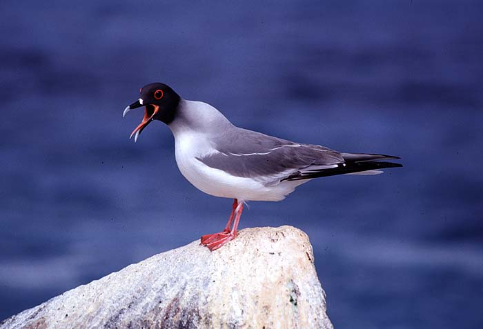 Sally_Phipps_Hornby_Swallow_tailed_gull.jpg [© Last Frontiers Ltd]