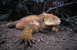 Image: Land iguana - The uninhabited islands