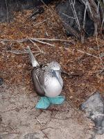 Image: Blue-footed booby - The uninhabited islands
