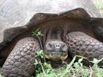 Image: Giant tortoise - Santa Cruz (Indefatigable)