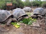 Giant tortoises - Santa Cruz (Indefatigable), Galapagos