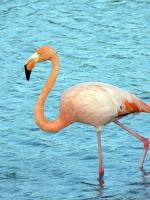 Image: Flamingo - Santa Cruz (Indefatigable)