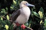 Image: Red-footed booby - The uninhabited islands