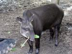 Tapir - The Rupununi savannas, Guianas