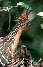 Image: Hoatzin - The Rupununi savannas