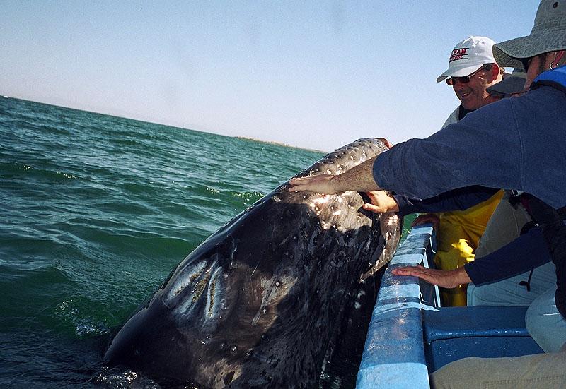 Image Details For Mx04jm Baja Laguna San Ignacio Whale
