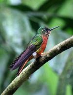 Image: Chestnut-breasted coronet - Machu Picchu