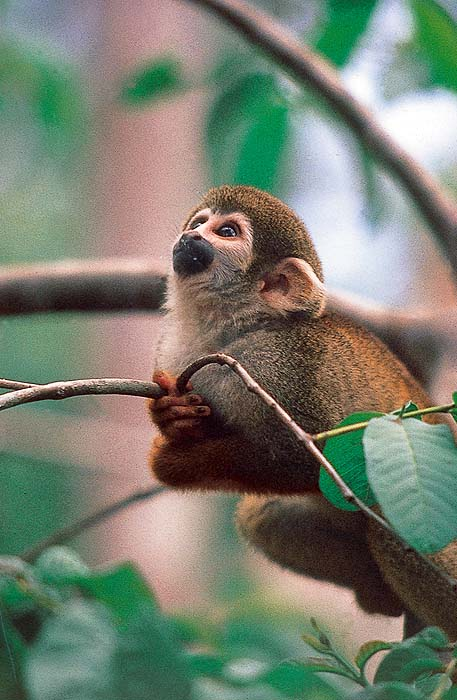 VE0492EPB47_squirrel_monkey.jpg [© Last Frontiers Ltd]