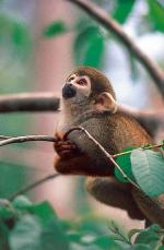 Squirrel monkey - The Gran Sabana and the Amazon, Venezuela